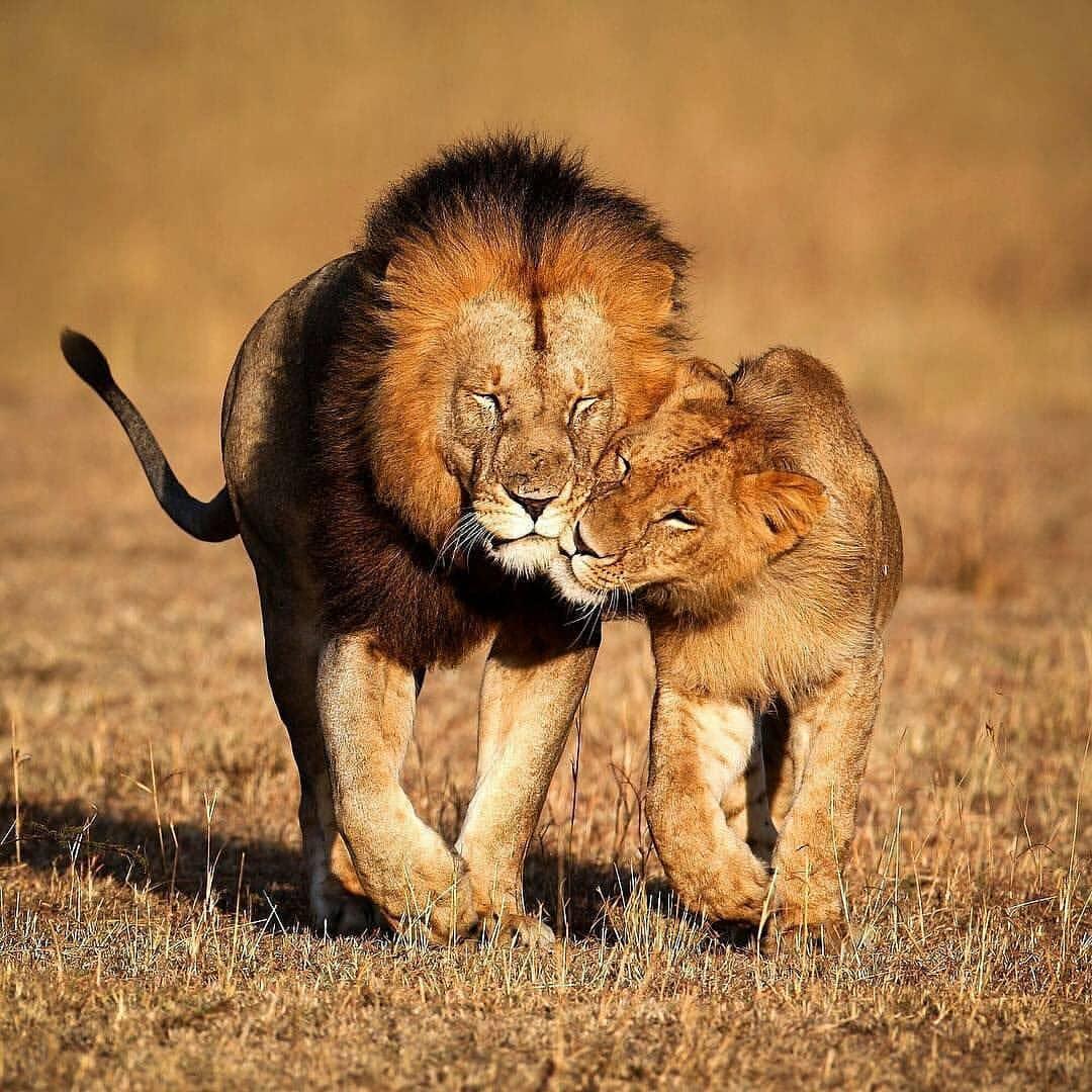 лев в картинках о любви этом