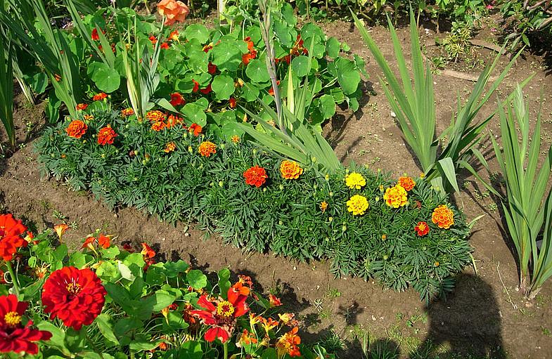 Растения-пестициды на защите сада и огорода