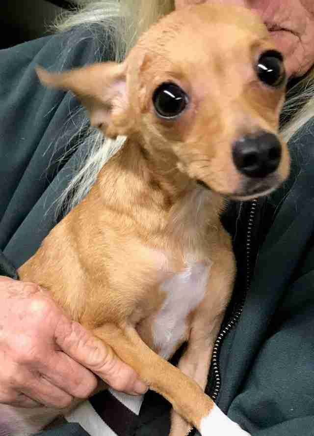 Chihuahua pulled from trash in Georgia Welcome Center