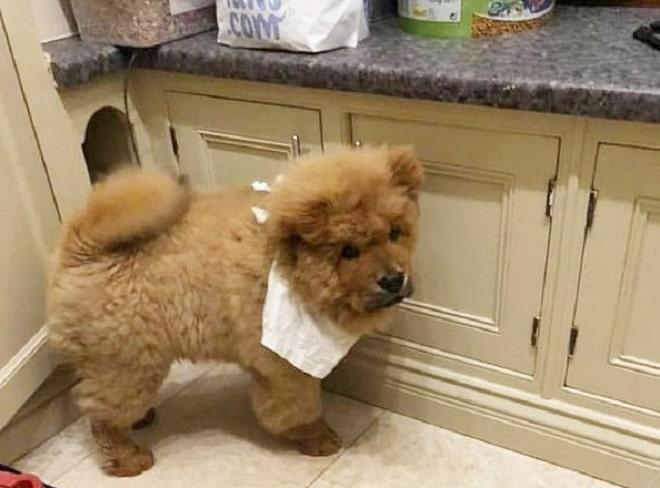 Чау-чау под арестом: щенка посадили «за решетку» за агрессивное поведение истории из жизни