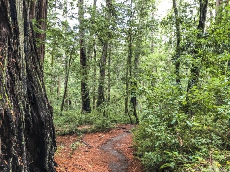 Из первых уст: Заблудиться в трёх секвойях, или Прогулка по парку Big Basin Сан-Франциско,секвойи,США