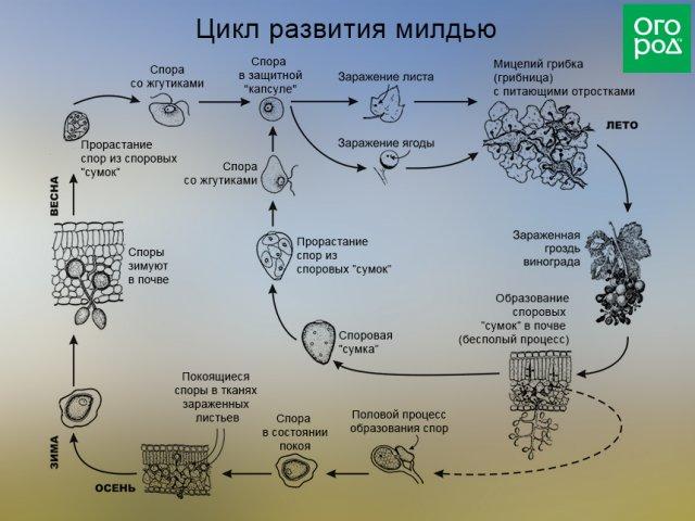 Цикл развития милдью