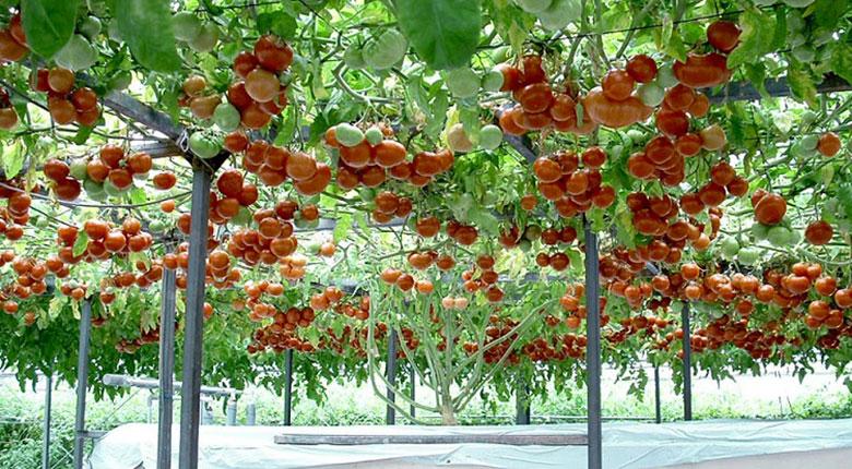Томатное дерево: 14 тысяч помидоров с «кустика»