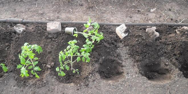 Выращивание хорошего урожая томатов