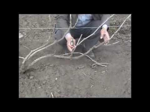 Формирование виноградного куста (part 3)