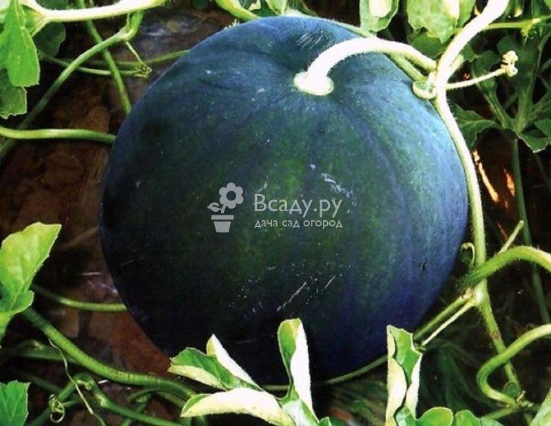 Сорт арбуза Сахарный малыш выращивают как на юге, так и на севере России
