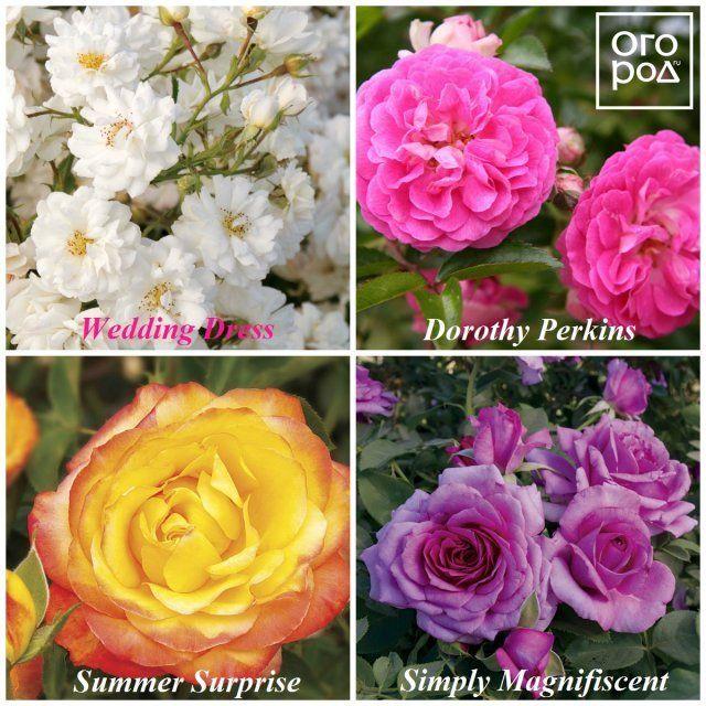 розы Джексон и Перкинс