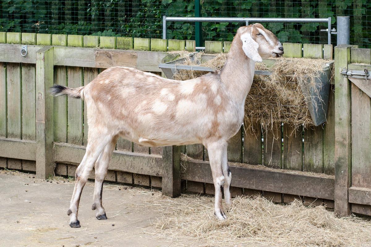 6 самых популярных восточных пород коз и особенности их содержания дача,домашние животные,сад и огород