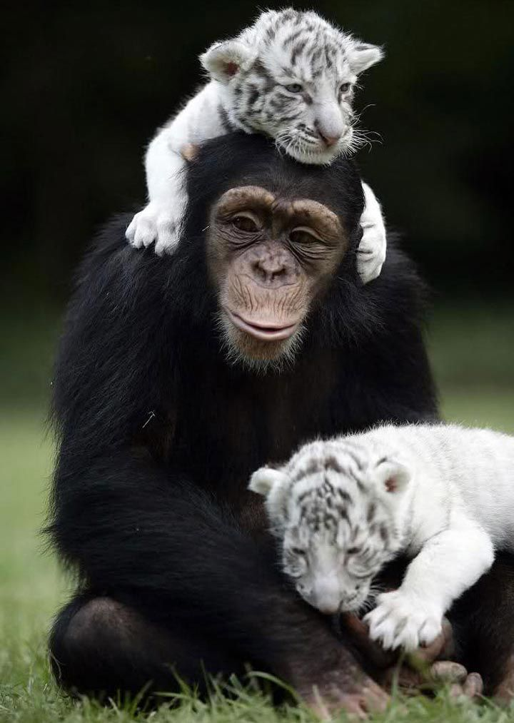Удивительная и милая дружба животных Собака, Кошка, Питбуль, оленёнок, Маленький, лошадь, вомбат, Золотистый, ретривер, брошенный, матерью, котёнок, Курица, щенки, Орангутанг, собака, бородатый, кенгуру, выдра, Зелёная