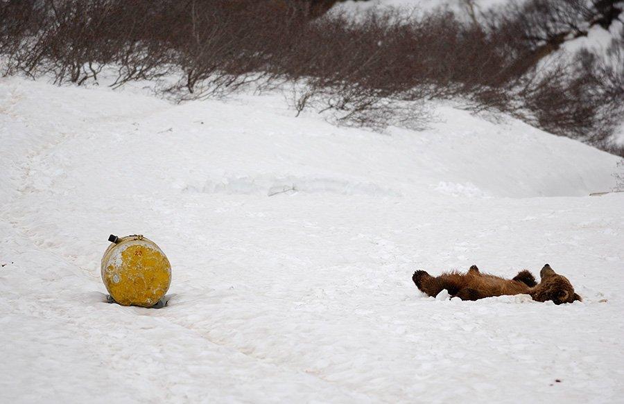 Камчатские медведи: пробуждение