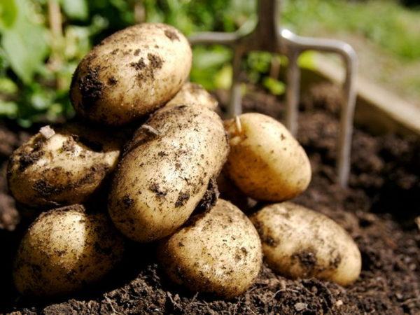 Урожай картофеля