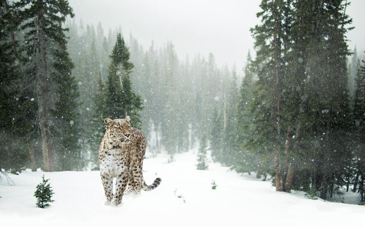 Фотограф сделал снимок, на котором спрятался снежный барс