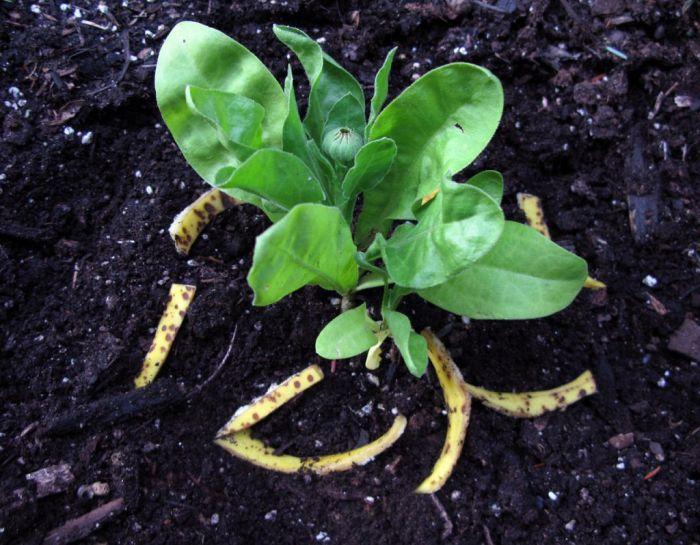 Расти с таким удобрением будет быстрее и лучше. svoimi-rykami.ru.