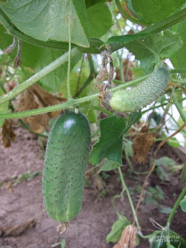 Формируем правильно. Как увеличить урожайность огурцов?