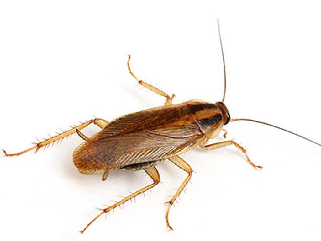 Тараканы в доме: какую угрозу они несут