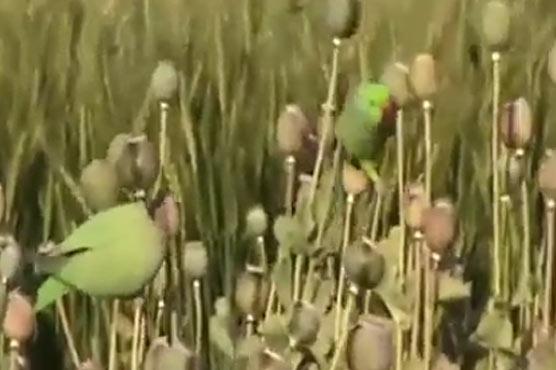 Попугаи- наркоманы обокрали …