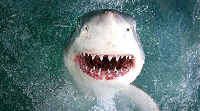 Калифорнийский фотограф заглянул в пасть морскому дьяволу Большая белая акула, акула, животные, морские хищники, нежданая встреча, удача фотографа, удачное фото, хищники