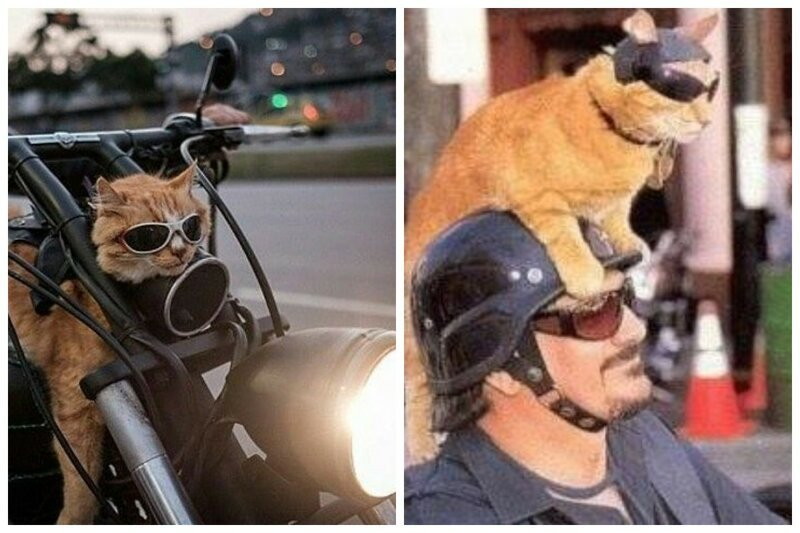Кот байкера: фото верных спутников любителей скорости и ветра животные, кот байкера, кот на мотоцикле, коты, кошки, мото