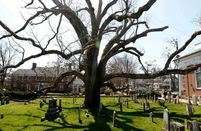 Дерево Смерти (Tree Of Death) растет в Зелёном Парке (Green Park), который находится прямо рядом с Букингемским дворцом (Buckingham Palace) бывает же такое, деревья, жизнь, интересное, растения, факты