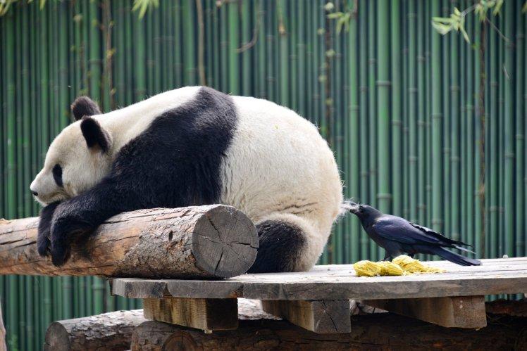 Ворона выщипывает панду на мех для гнезда фото