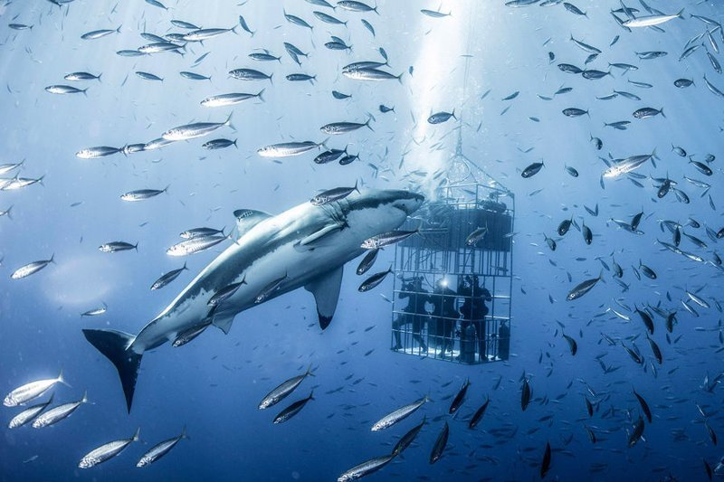 Дайверы в клетке едва не стали завтраком для гигантской белой акулы акула, в мире, дайверы, животные, красота, под водой