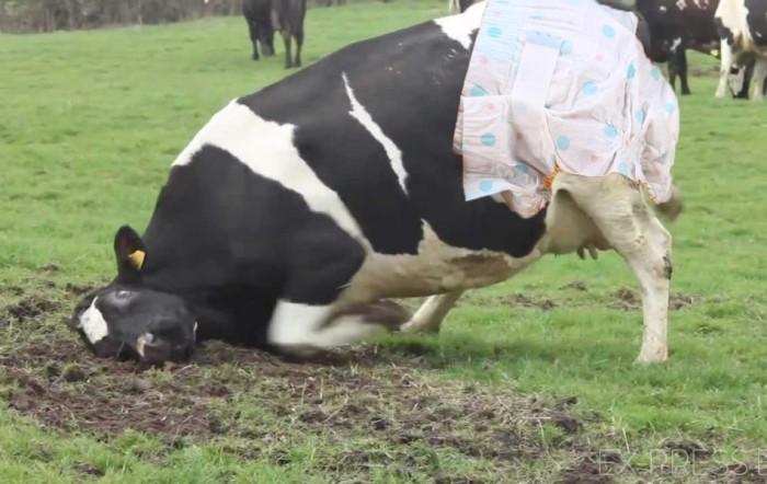 В Беларуси стали надевать на коров памперсы: кому такое пришло в голову?