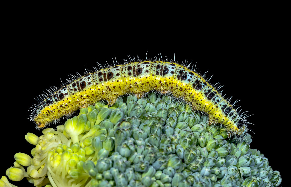 Бабочка капустница Pieris brassicae