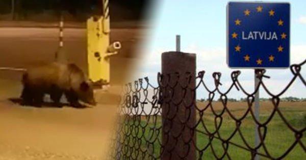 Медведь снес забор на границе Латвии, пытаясь уйти в Россию