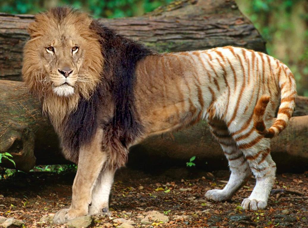 фото лигр и тигон представление детей малой