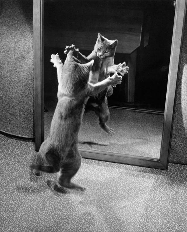 Выпустив когти, котик нападает на собственное отражение в зеркале, 1964 national geographic, неопубликованное, фото