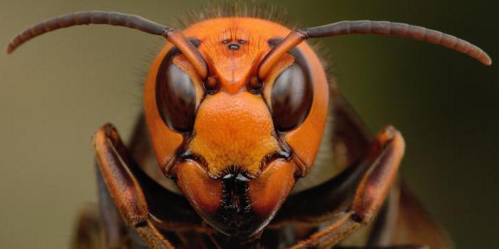 Несколько самых страшных и ядовитых насекомых в мире. Часть 2