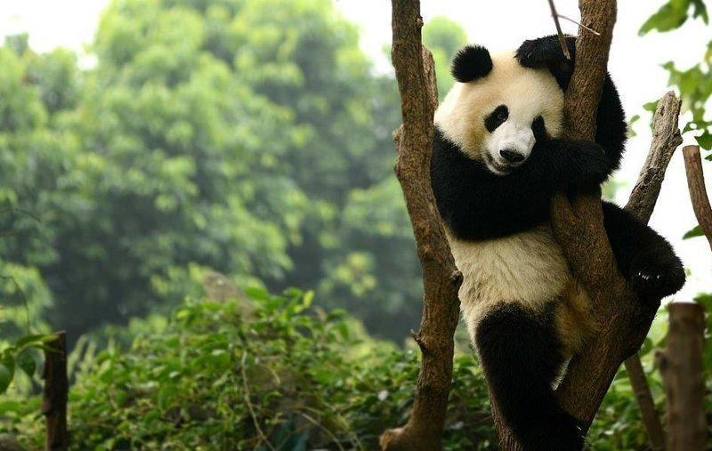 Дикая панда в лесах Чэнду виды, города, китай, красота, необыкновенно, пейзажи, удивительно, фото