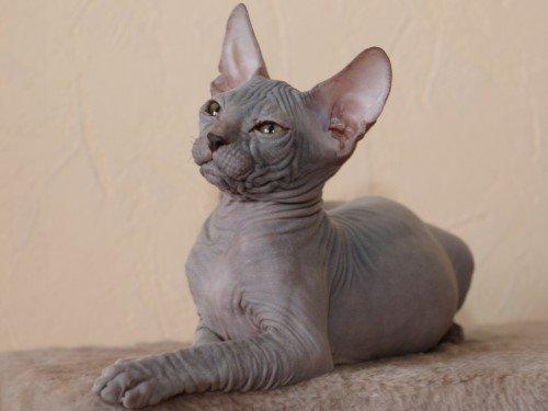 Внезапно нам предложили мечту нашей жизни – кошку-сфинкса.