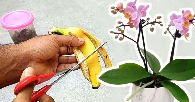 Удобрение из банановой кожуры поможет орхидее зацвести вновь