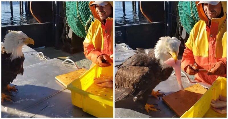 Наглый белоголовый орлан выпрашивает часть улова у рыбака