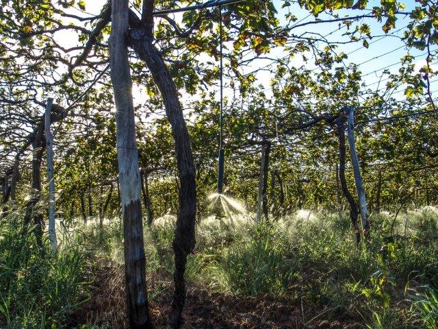 Дождевание виноградника