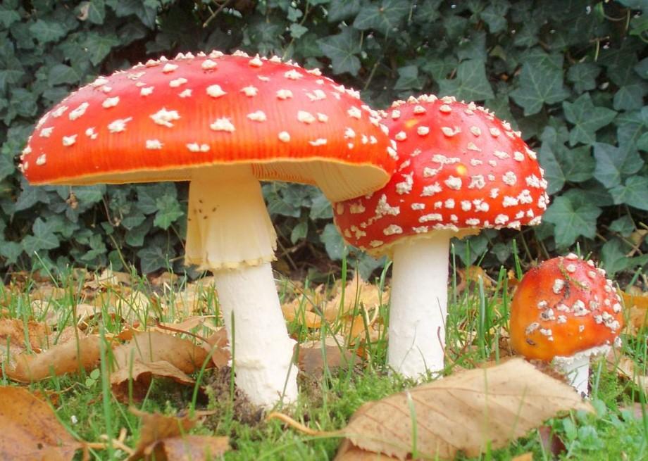 50 интересных фактов о грибах грибы,интересное,факты