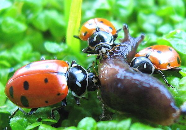 Как удержать полезных насекомых в саду