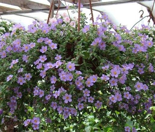 Ампельная бакопа для сада и балкона