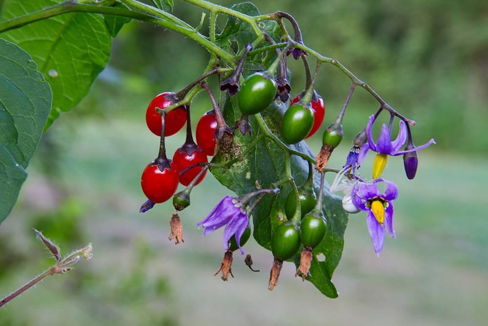 10 ядовитых растений, которые могут испортить путешествие по России отдых,путешествия,растения,ядовитые растения