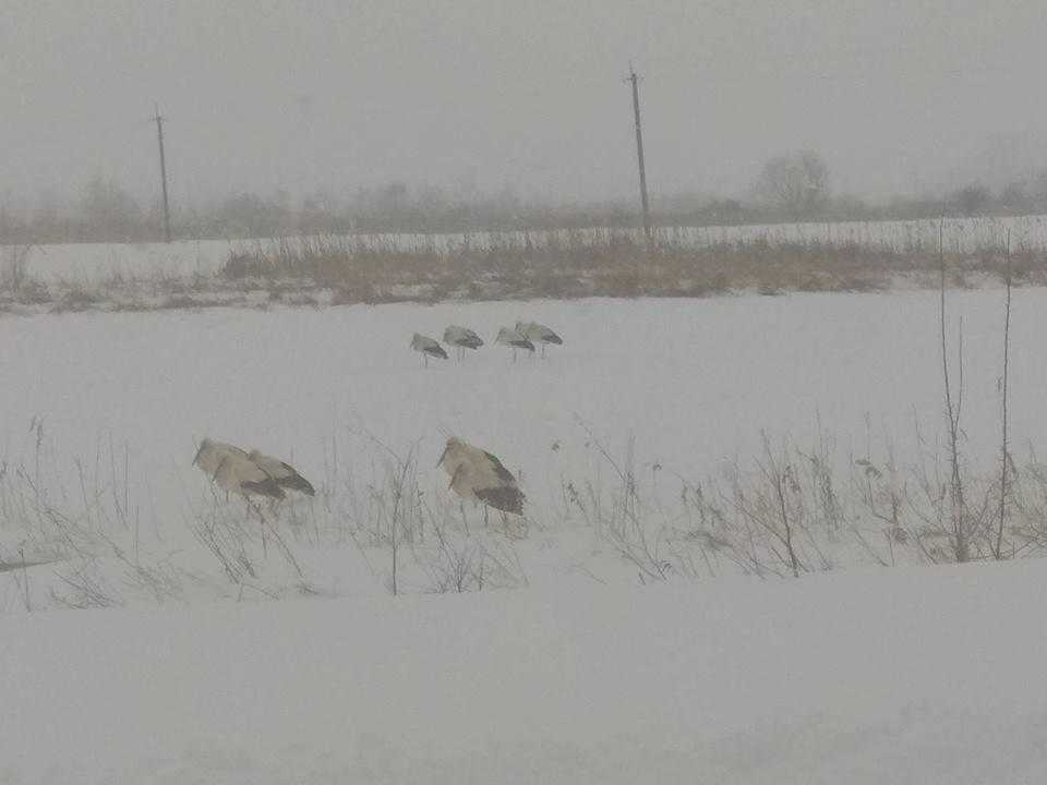 Аисты прилетели в зиму!