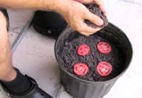 Необычный способ вырастить помидорную рассаду. Просто и без хлопот!