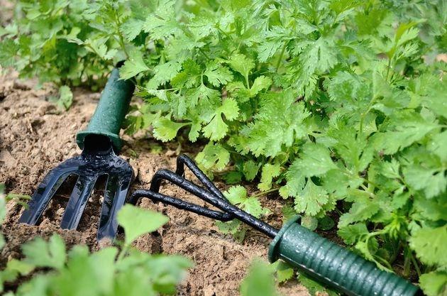 Петрушка: 5 важных советов по выращиванию