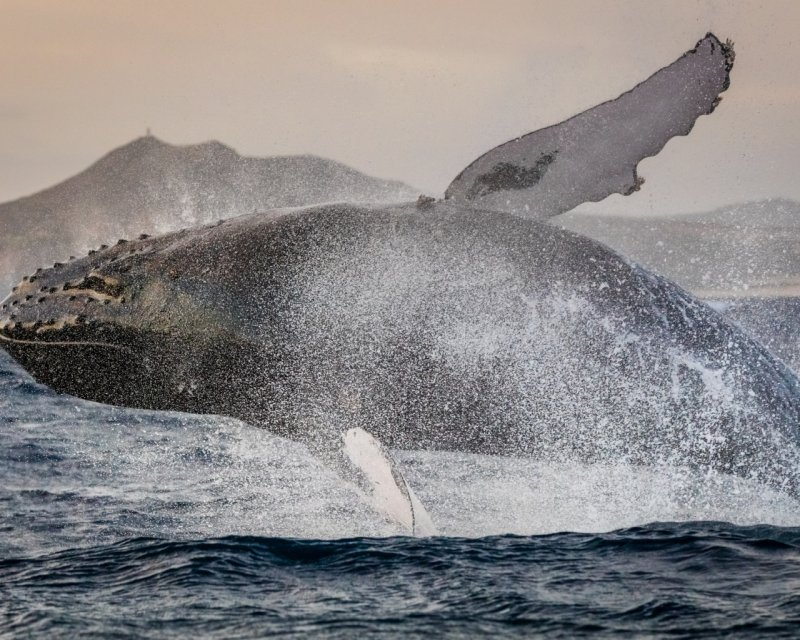 Горбатый кит без еды, волк, животные, медведь, пингвин, факты