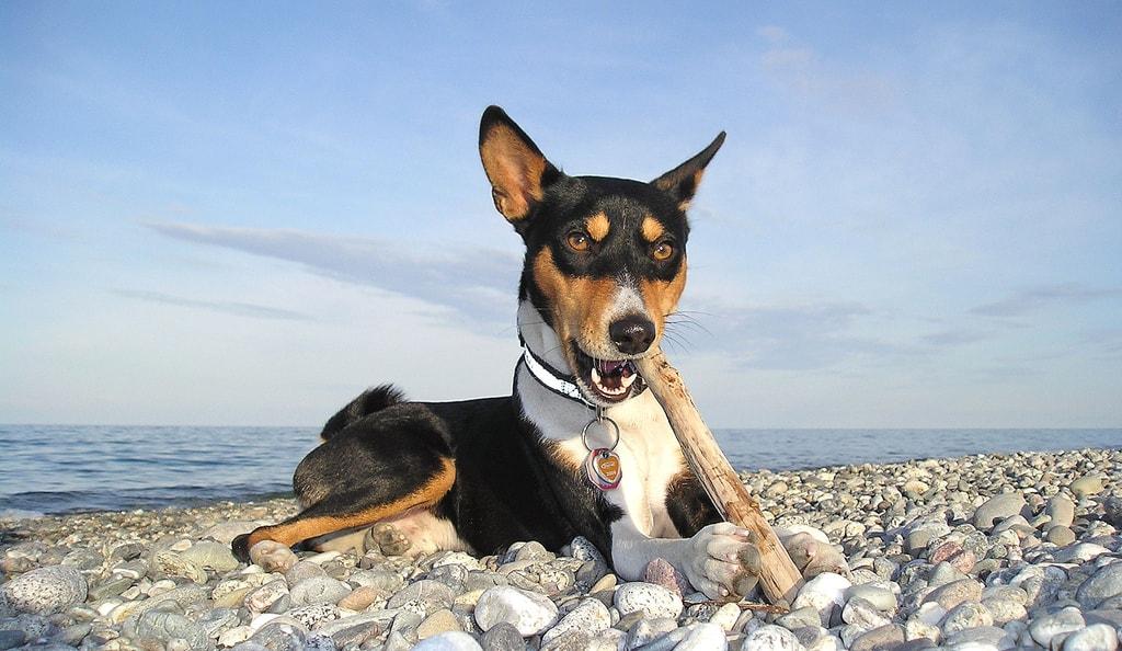 Басенджи - древняя фриканская собака. Фото