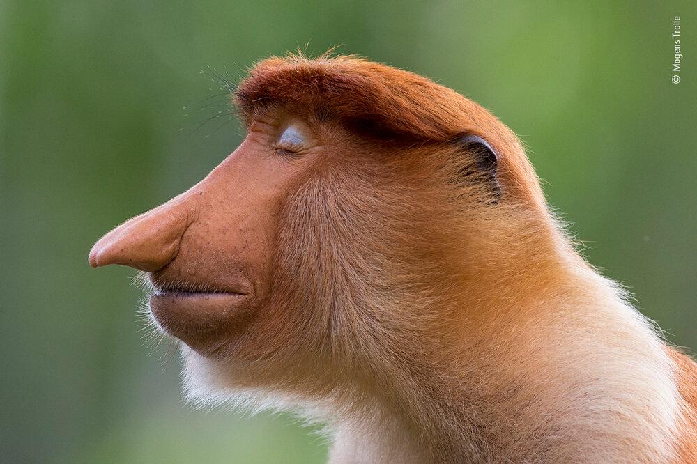 Портрет обезьяны-носача. Фото Могенса Тролле (Дания).