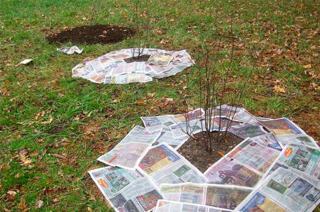 мульчированные газетами садовые деревья