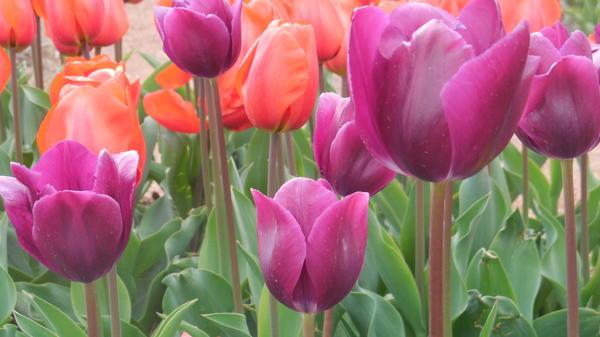 Выставка тюльпанов Никитского ботанического сада – «Феерия красок, чувств и эмоций»