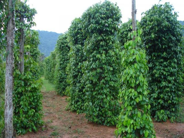 Плантация по выращиванию перца чёрного (Piper nigrum)