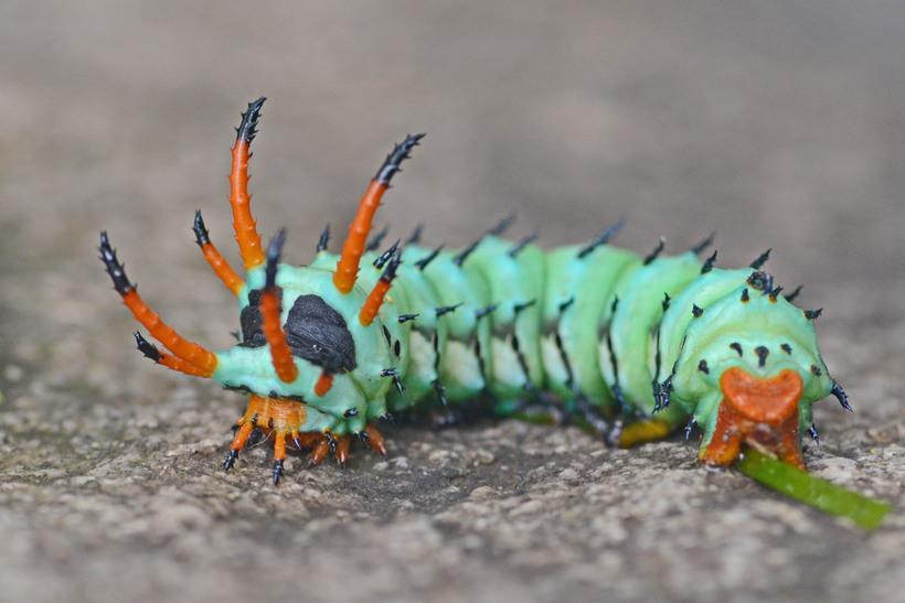 Вот как выглядит бабочка, в которую превращается самая большая гусеница в мире животные,природа